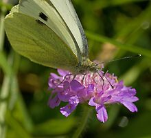 Large White Butterfly by Jon Lees