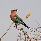 Lilac-breasted Roller by Erik Schlogl