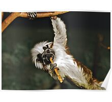 Cotton-top Tamarin showing off Poster