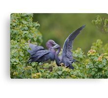 Little Blue Herons  Canvas Print