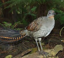 Lyrebird by Kerry  Hill