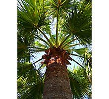 California Fan Palm Tree  Photographic Print