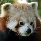 Red Panda by ClareLH