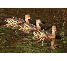Three Little Ducks All in a Row Photographic Print
