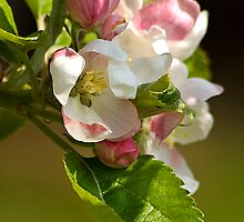 Apple Blossom by Bob Culshaw