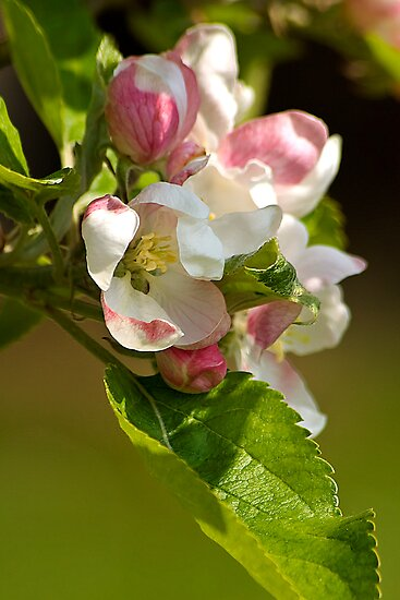Apple Blossom by Bob Culshaw