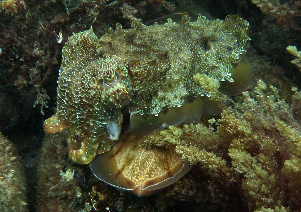 A Giant Australian Cuttlefish couple - Black Point, Whyalla by Dan & Emma Monceaux