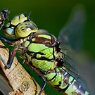 Dragon Fly and friend by Mike Butchart