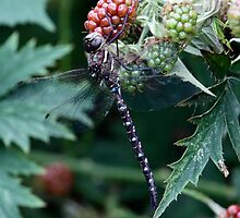 Shadow Darner on a Red Blackberry by Wolf Read