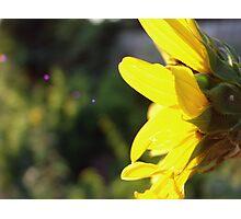 Sunflower Sparks Photographic Print