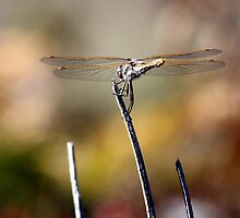 Variegated Meadowhawk Under the Sun by Wolf Read