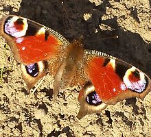 Peacock Butterfly by loubylou2209