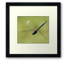 Paddle-Tailed Darner in Flight Framed Print