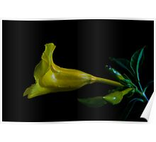 Yellow Butter cup flower in bloom Poster