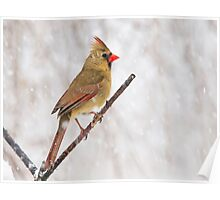 female cardinal 7  2010 Poster