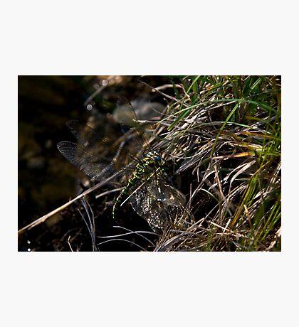 mating season Photographic Print