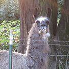 Alpaca modeling by AuntieBarbie