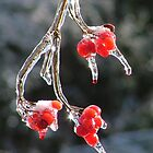 Ice Storm Berries by Jimmy Haslam