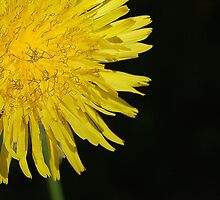The Sun is a Dandelion ! by Ralph Angelillo