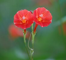 Red Morning Glory - Ipomoea coccinea by rd Erickson