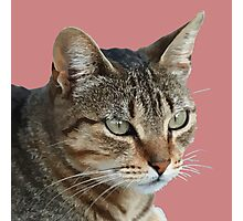 Stunning Tabby Cat Close Up Portrait Vector Isolated Photographic Print