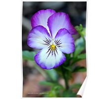 Viola Tricolor - Heart's Delight | Middle Island, New York  Poster