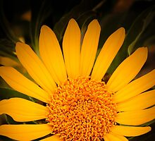 Mexican Sunflower at Tohono Chul Park by Robert Kelch, M.D.