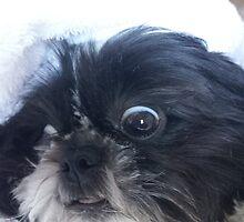 Shih tzu mogwai face by loubylou2209
