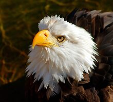 Bald Eagle in Splendor by pcfyi