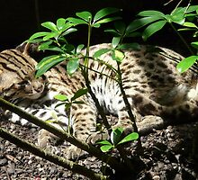 Furry Leopard Cat