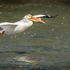 White Pelican 1-2015 by Thomas Young