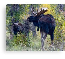 Moose Bull & Calf, Fall Colors Canvas Print