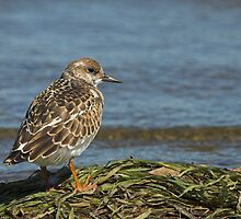 Ruddy Turnstone by Wayne Wood