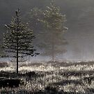 22.5.2015: Pine Tree, Spring Morning by Petri Volanen