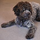 Lagotto Romagnolo by Mark  Allen