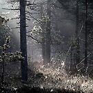 22.5.2015: Cobweb Forest by Petri Volanen