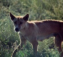 1998 Wild Dingo Marla by Fred Mitchell