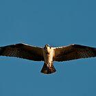 Osprey by David Friederich