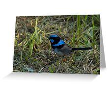 Superb Blue Wren, Cleland Wildlife Park Greeting Card
