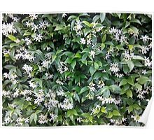Jasmine White Flower Bush Poster