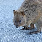 The friendly Rottnest Quokka by Karen Stackpole