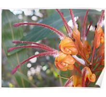 grevillea shrub Poster