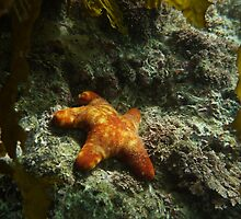 Starfish Undercover - Port Noarlunga by Dan & Emma Monceaux