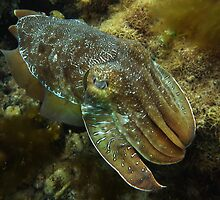 Cruising Giant Cuttlefish - Stony Point, Whyalla by Dan & Emma Monceaux