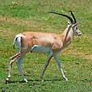 Grant's Gazelle, Ngorongoro Crater, Tanzania, Africa by Adrian Paul