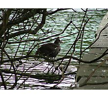 Moorhen Through The Branches Photographic Print