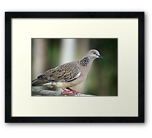 Streptopelia chinensis  (Spotted Turtle Dove) Framed Print