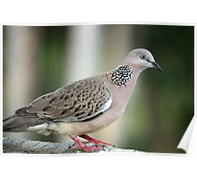 Streptopelia chinensis  (Spotted Turtle Dove) Poster