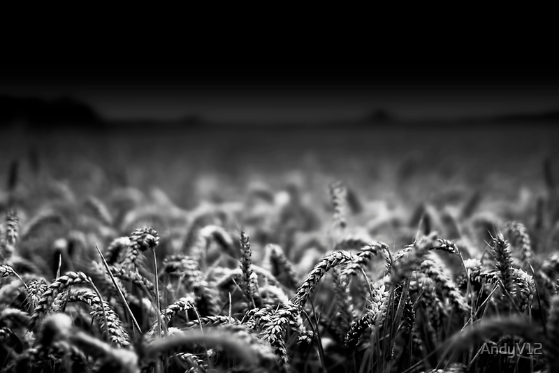 Wheat Close To Me BW by Andy Freer