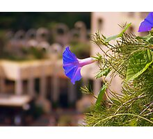 Bindweed  Photographic Print
